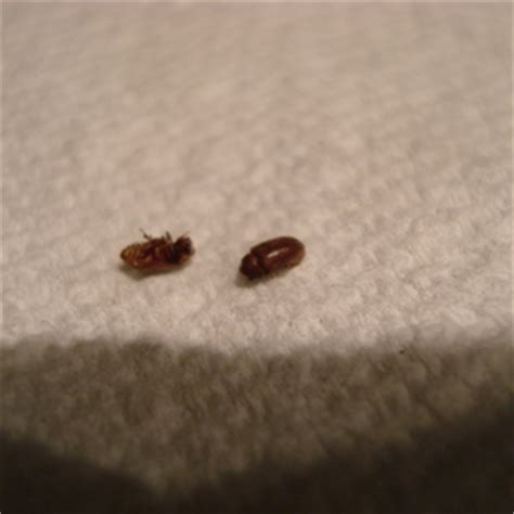 small beetles in bed identify small bug ask an expert