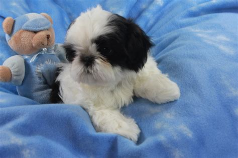 shih tzu pupies shih tzu puppies in northern new jersey