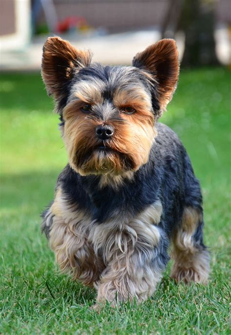 yorkie intelligence terrier symbolism a message 187 spirit animal totems