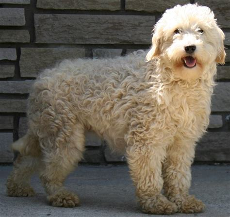 golden doodle puppy info goldendoodle golden doodle breeders puppies and breed