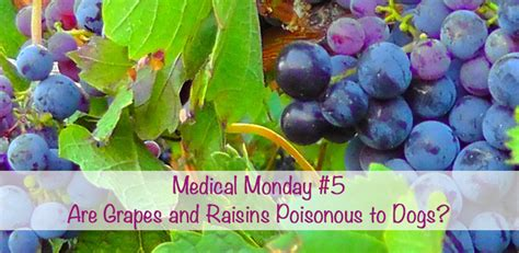 are grapes poisonous to dogs are grapes and raisins poisonous to dogs