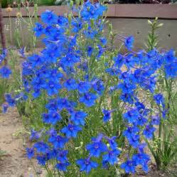 the gallery for gt delphinium garden