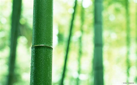 imagenes wallpaper bamboo bamboo desktop wallpapers wallpaper cave