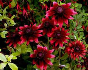 Daisy Flowers For Sale - rudbeckia hirta cherry brandy lambley nursery