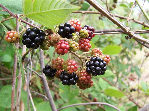 Blackbarry Jump Fruit file blackberry fruits04 jpg wikimedia commons