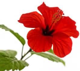 Jamaica Flower Tea - fun flower facts hibiscus grower direct fresh cut
