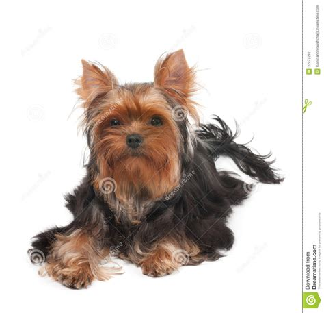 yorkie curly hair one terrier with curly hair stock photo image 32972282