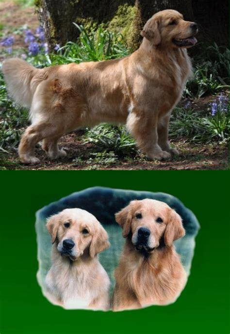 golden retriever oregon golden retriever puppy rescue oregon dogs our friends photo