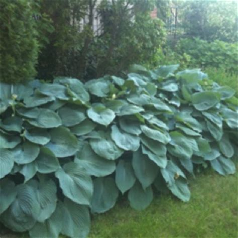 elephant ear hosta garden love pinterest