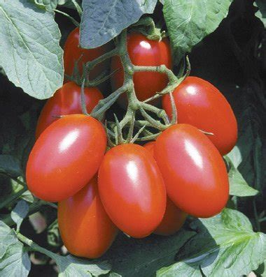 Tomat Cherry Juliet compare price to juliet hybrid tomatoes dreamboracay