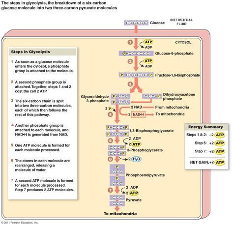 glycolysis diagram metabolism