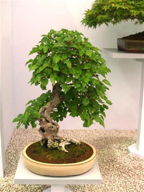 Bibit Buahtanaman Jadi Dewandaru bonsaiar41