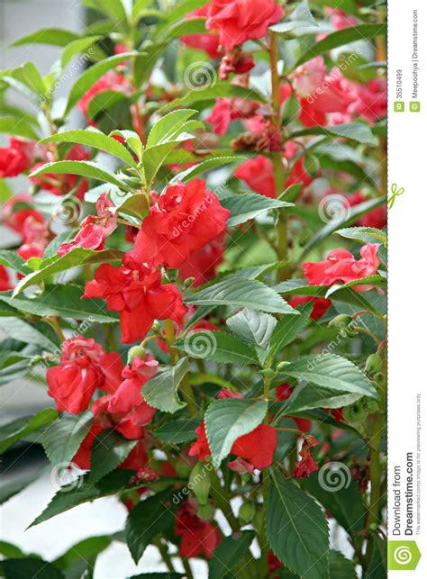 Garden Balsam by Garden Balsam Or Balsam Stock Image Image 35510499