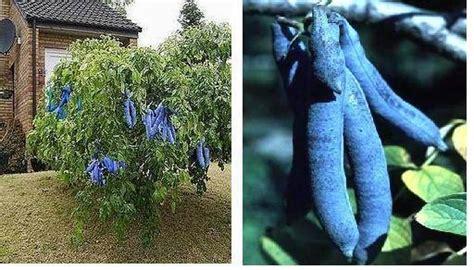 Garten Dicht Pflanzen by Blaugurkenbaum Dicht Schnell Wachsende Str 228 Ucher B 252 Sche