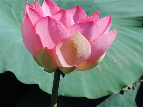 fiori di loto mantova fiori di loto foto di i barcaioli mincio curtatone