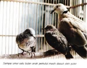 Tempat Pakan Burung Puter perkutut om kicau