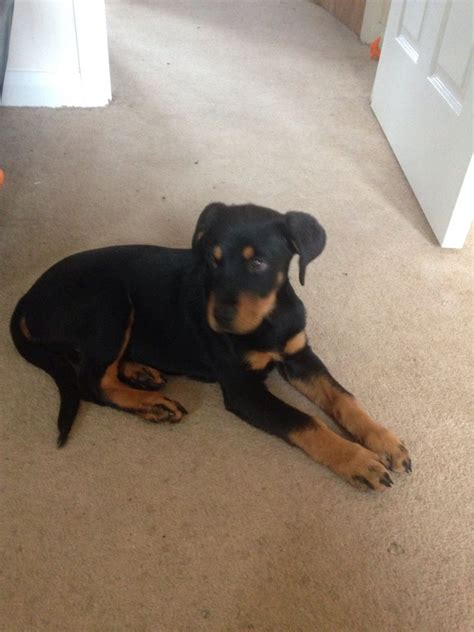 rotterman puppies rotterman puppy for sale ross on wye herefordshire pets4homes