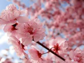 cherry blossoms globe encyclopedia cherry blossom