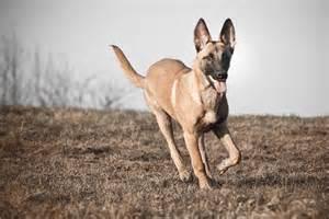 belgian sheepdog personality belgian malinois temperament personality picture dog
