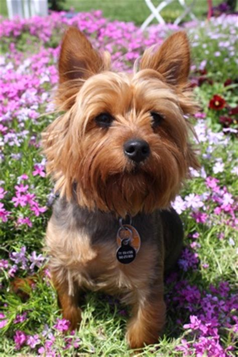 largest yorkie bestunique trick smallest yorkie largest yorkie breeds picture