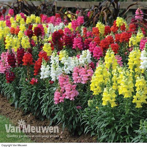 Flowers 101 Snapdragons by Antirrhinum Rocky Rainbow Meuwen