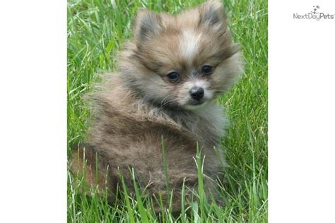 4 pound pomeranian pomeranian puppy for sale near grand island nebraska b6a7d389 8e71