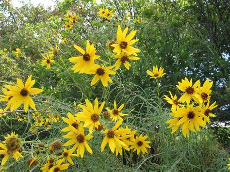 sunflowers in kansas kansas is the sunflower state dyck arboretum