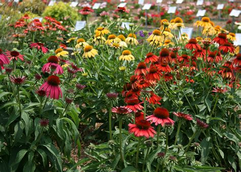plan to include purple coneflowers in gardens mississippi state university extension service