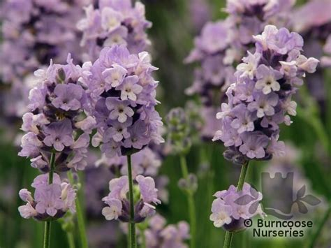 Lavandula Angustifolia Hidcote Blue 2479 scented plants page 1 burncoose nurseries plants by