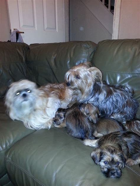 yorkie mixed with shih tzu for sale yorkie mix shih tzu puppys doncaster south pets4homes