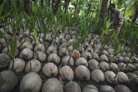 Cari Bibit Kelapa Kopyor satu harapan bibit kelapa kopyor di pati