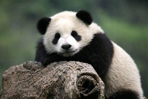 panda lucu foto gambar panda lucu 25 lu kecil