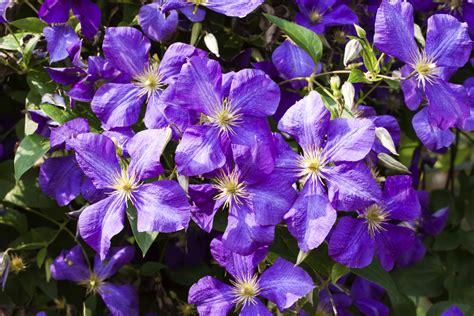 Clematis Wann Pflanzen 3613 clematis wann pflanzen clematis kletterpflanze tipps zum