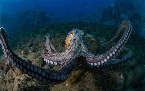 octopus desktop wallpaper hd widesreenx