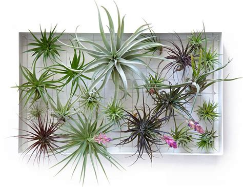 air plants bathroom 8 shower plants that want to live in your bathroom