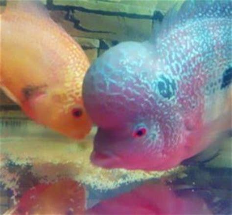 Pemisah Telur Plastik Biasa X075 cara budidaya ikan hias louhan di akuarium