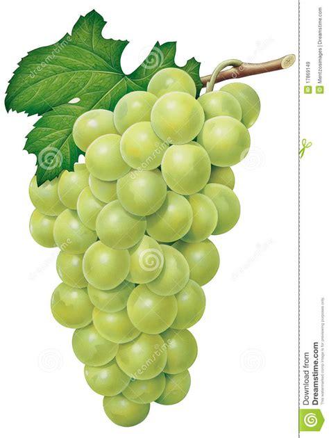 imagenes de uvas vector uvas verdes im 225 genes de archivo libres de regal 237 as