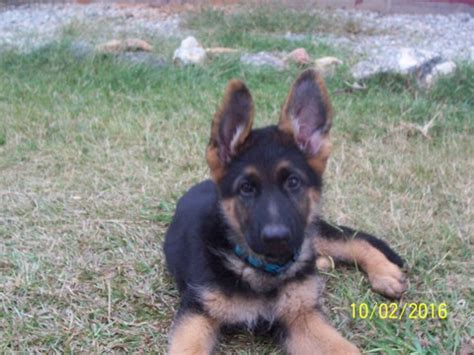 free puppies spartanburg sc view ad german shepherd puppy for sale south carolina spartanburg