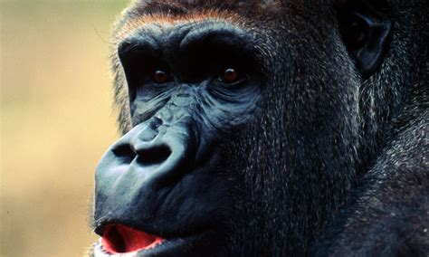 Cross River Gorilla | Photos | WWF