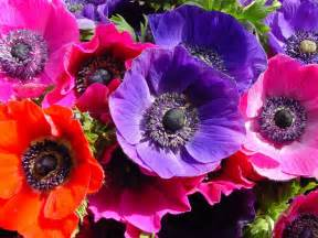 anemone flowers anemone flower pictures pics images and photos for inspiration