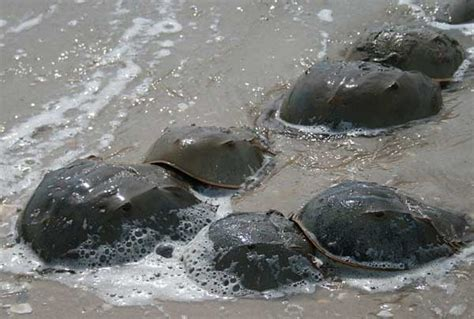 what color is horseshoe crab blood the horseshoe crab world s most successful animal cool