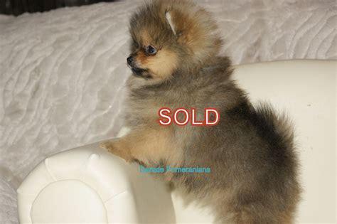 pomeranian fur types tiny tiny gorgeous kc reg pomeranian fur baby cardiff cardiff pets4homes
