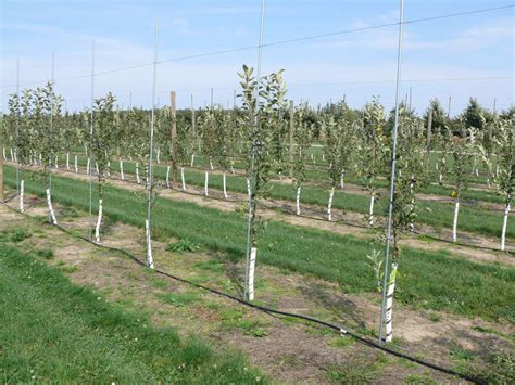 fruit tree watering system trickle irrigation