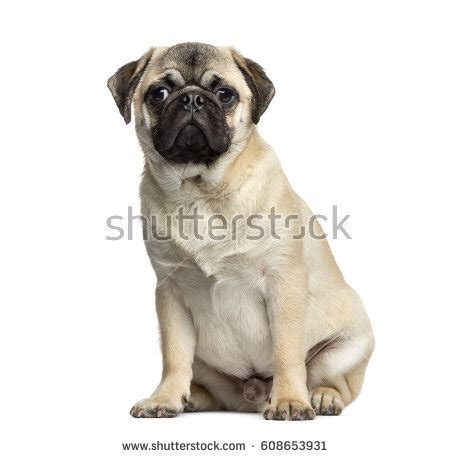 7 month pug 7 month pug stock images royalty free images vectors
