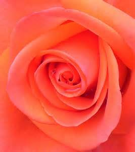 salmon colored roses salmon colored roses are such special flowers by