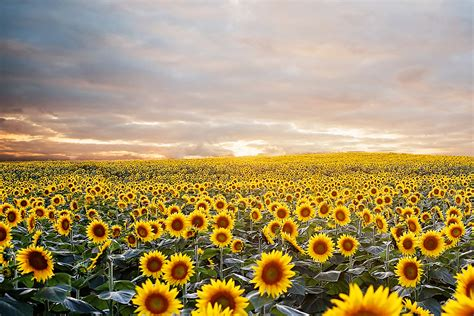 sunflower field sunflower fields forever kansas city photographer