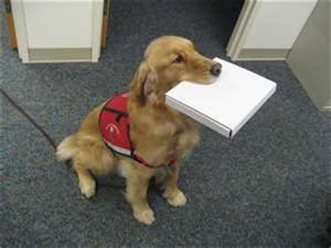 golden retriever service dogs golden retriever service dogs