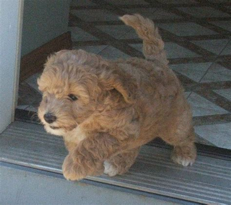 cost of labradoodle puppy labradoodle puppy running
