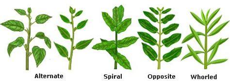 the pattern of leaf arrangement is called phyllotaxy angiosperm morphology tutorvista com