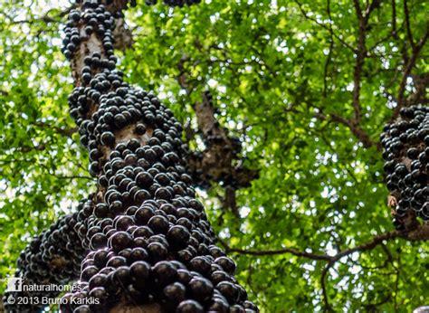 jabuticaba fruit tree the jabuticaba a grape like fruit from south america